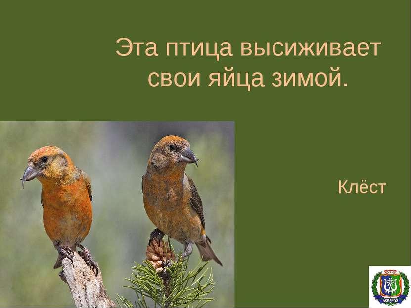 Эта птица высиживает свои яйца зимой. Клёст