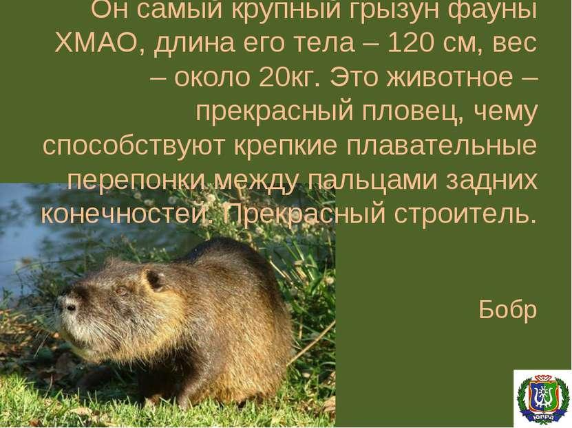 Он самый крупный грызун фауны ХМАО, длина его тела – 120 см, вес – около 20кг...