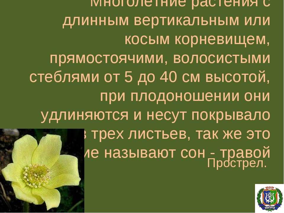 Многолетние растения с длинным вертикальным или косым корневищем, прямостоячи...