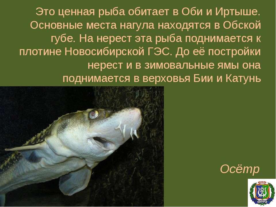 Это ценная рыба обитает в Оби и Иртыше. Основные места нагула находятся в Обс...