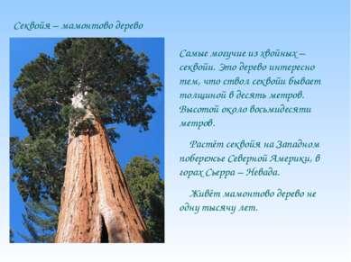 Секвойя – мамонтово дерево Самые могучие из хвойных – секвойи. Это дерево инт...