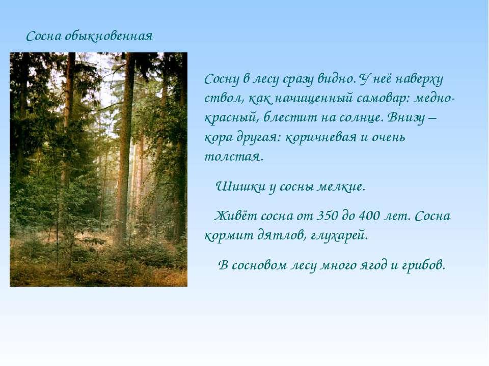 Сосна обыкновенная Сосну в лесу сразу видно. У неё наверху ствол, как начищен...