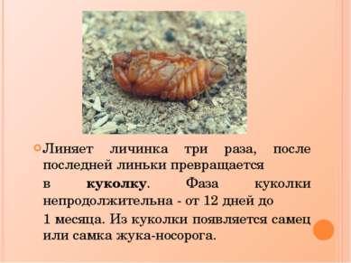 Линяет личинка три раза, после последней линьки превращается в куколку. Фаза ...