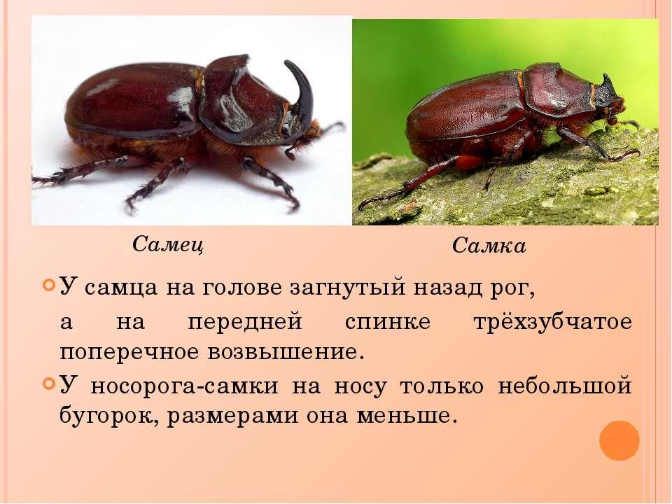 Что едят жук носорог в домашних условиях 9