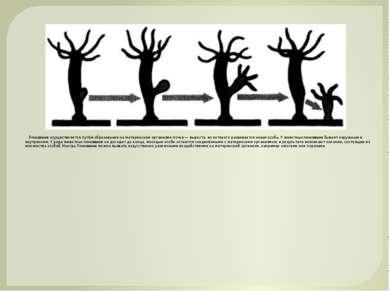 Почкование осуществляется путём образования на материнском организме почки — ...