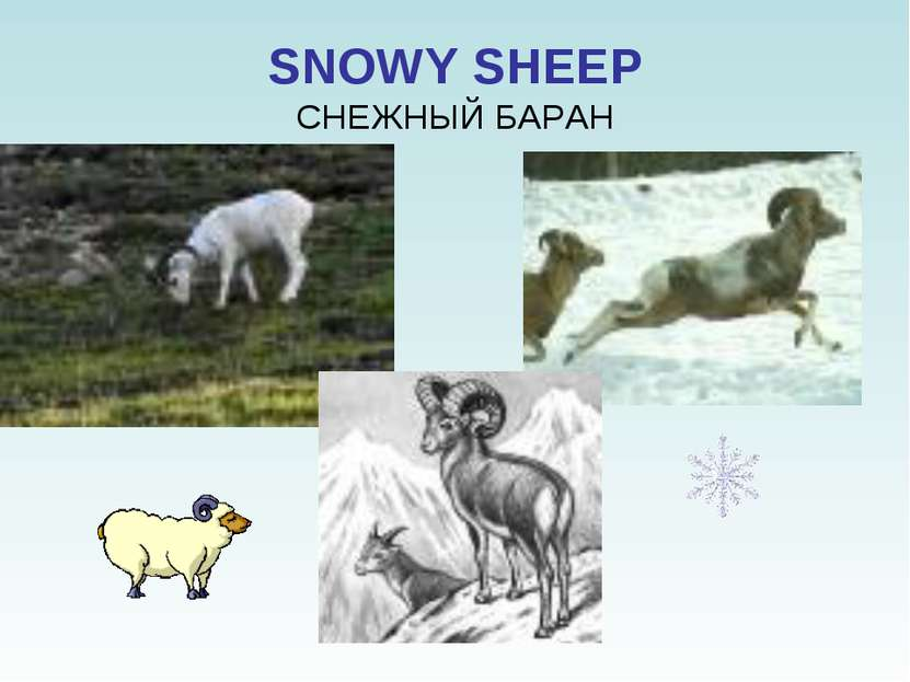 SNOWY SHEEP СНЕЖНЫЙ БАРАН