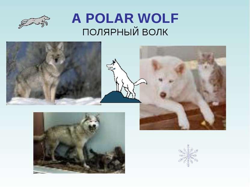 A POLAR WOLF ПОЛЯРНЫЙ ВОЛК