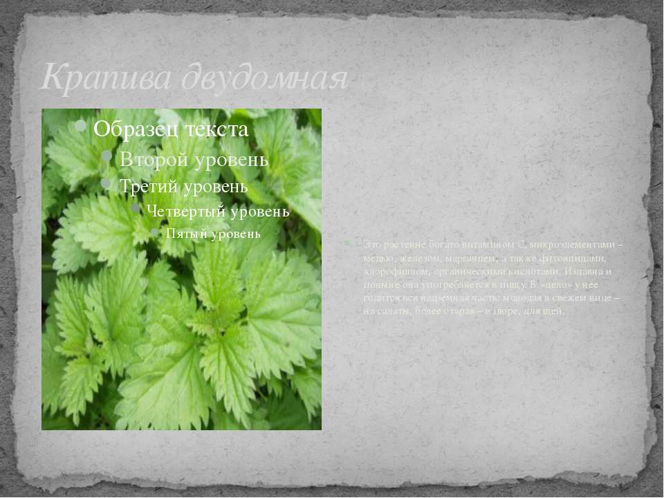 Крапива двудомная Это растение богато витамином С, микроэлементами – медью, ж...