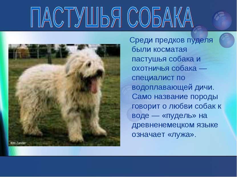 Среди предков пуделя были косматая пастушья собака и охотничья собака — специ...