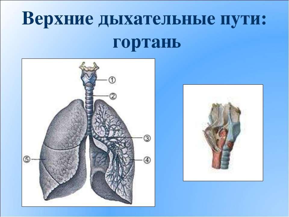 Верхние дыхательные пути: гортань