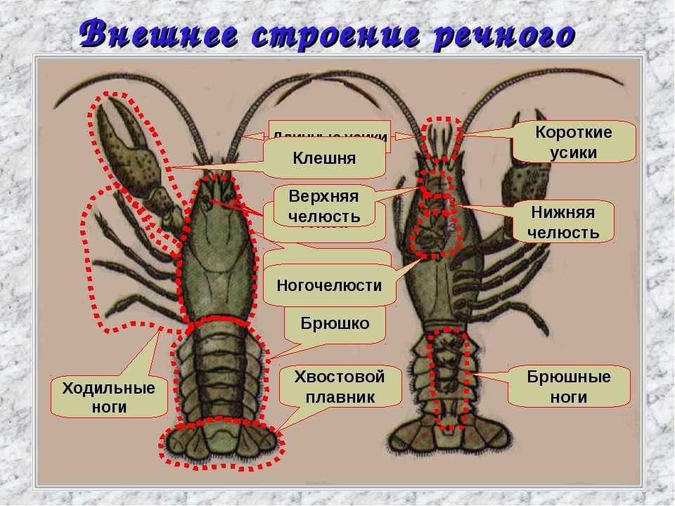 Внешнее строение речного рака Головогрудь Брюшко Хвостовой плавник Ходильные ...