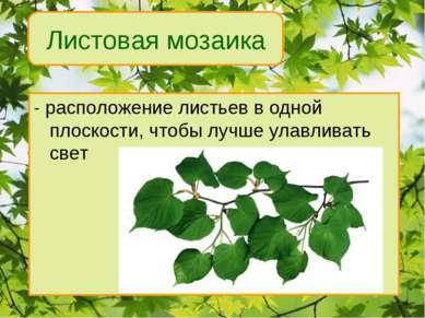 - расположение листьев в одной плоскости, чтобы лучше улавливать свет Листова...