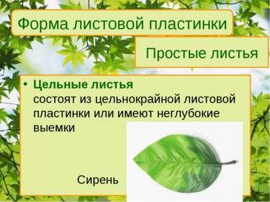 Простые листья Цельные листья состоят из цельнокрайной листовой пластинки или...