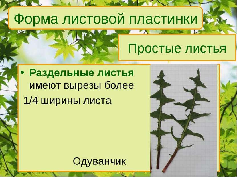Простые листья Раздельные листья имеют вырезы более 1/4 ширины листа Одуванчи...