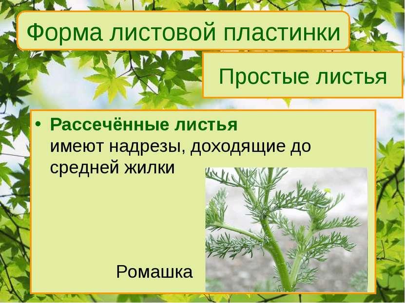 Простые листья Рассечённые листья имеют надрезы, доходящие до средней жилки Р...