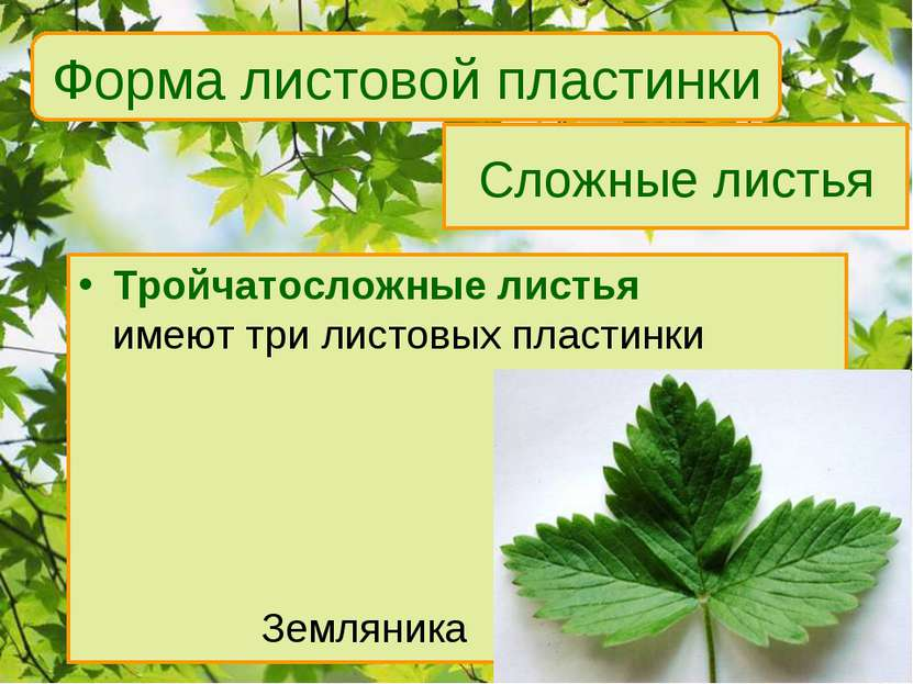 Сложные листья Тройчатосложные листья имеют три листовых пластинки Земляника ...