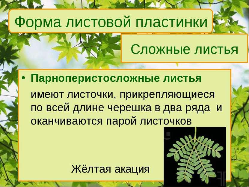 Сложные листья Парноперистосложные листья имеют листочки, прикрепляющиеся по ...