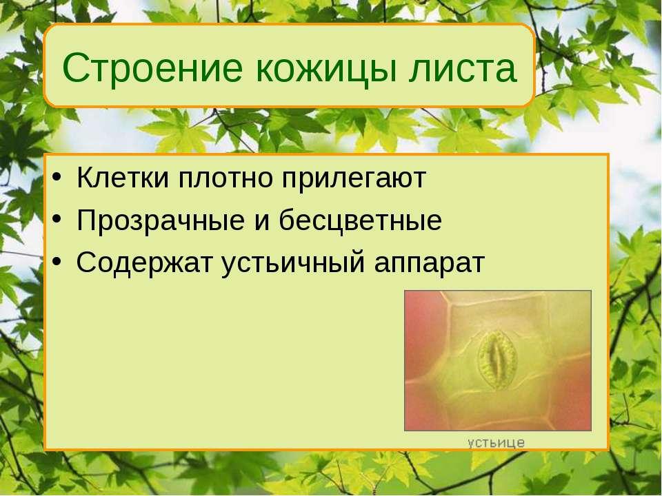 Клетки плотно прилегают Прозрачные и бесцветные Содержат устьичный аппарат Вн...