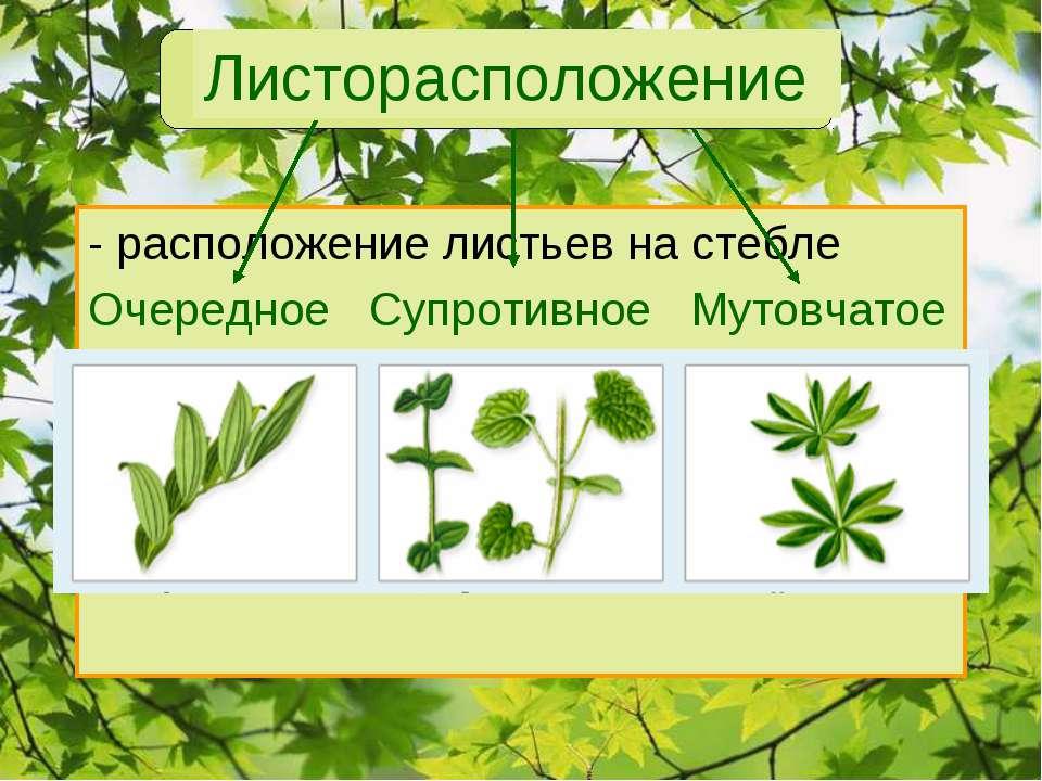 Листорасположение - расположение листьев на стебле Очередное Супротивное Муто...