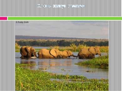 Слоны живут стадами