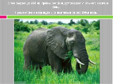Слон съедает до 250 кг травы, веток и другого растительного корма в день. Кро...
