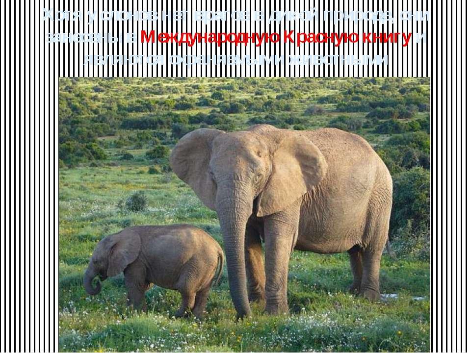 Хотя у слонов нет врагов в дикой природе, они занесены в Международную Красну...