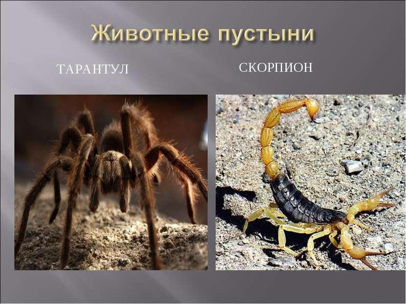 ТАРАНТУЛ СКОРПИОН