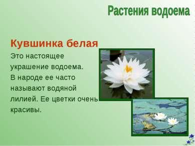 Кувшинка белая Это настоящее украшение водоема. В народе ее часто называют во...