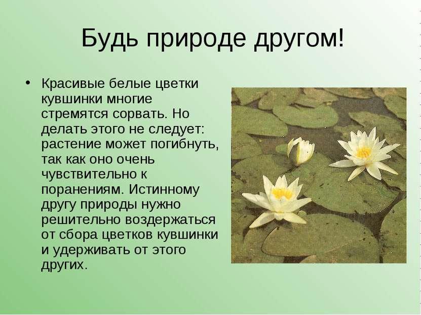 Будь природе другом! Красивые белые цветки кувшинки многие стремятся сорвать....