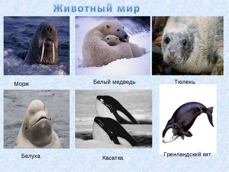 Морж Белый медведь Тюлень Белуха Касатка Гренландский кит