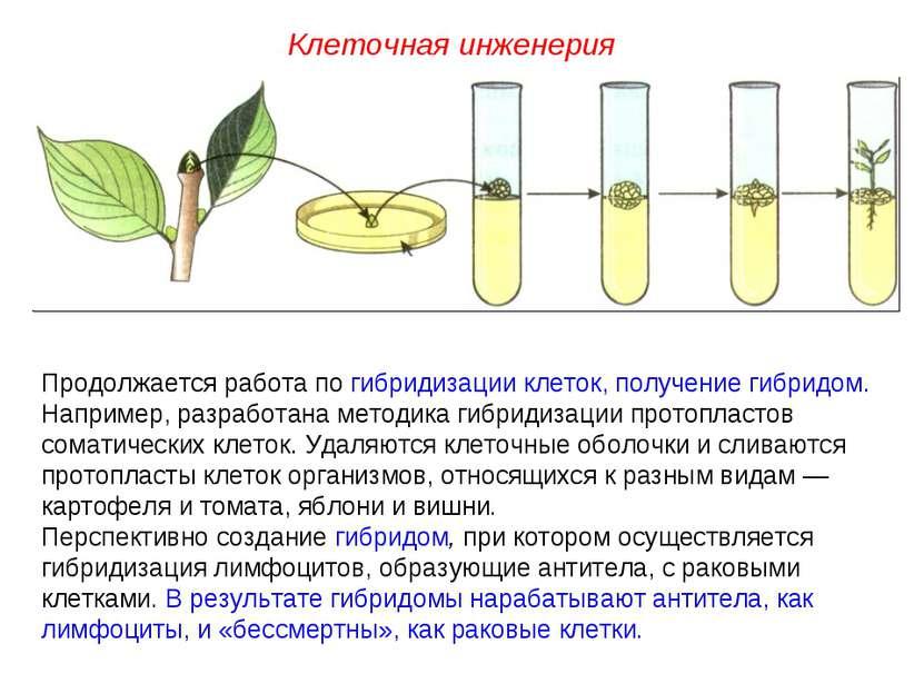 Продолжается работа по гибридизации клеток, получение гибридом. Например, раз...