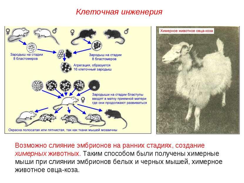 Возможно слияние эмбрионов на ранних стадиях, создание химерных животных. Так...