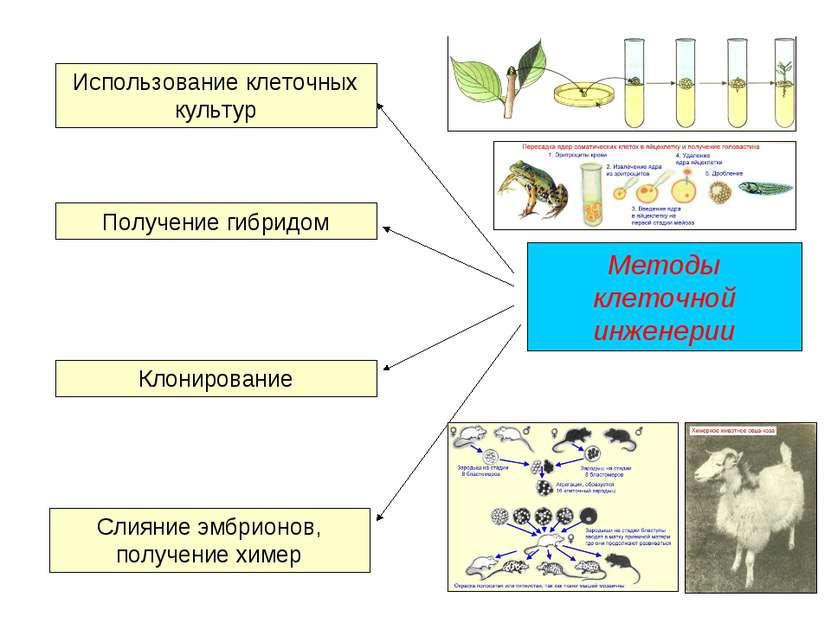 Методы клеточной инженерии Использование клеточных культур Получение гибридом...