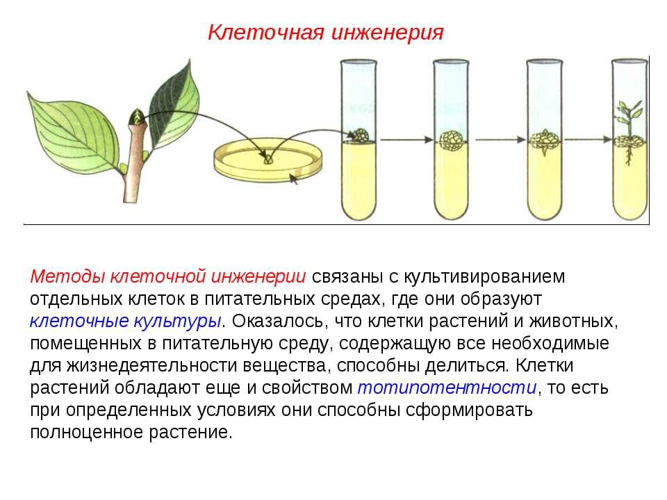 Методы клеточной инженерии связаны с культивированием отдельных клеток в пита...