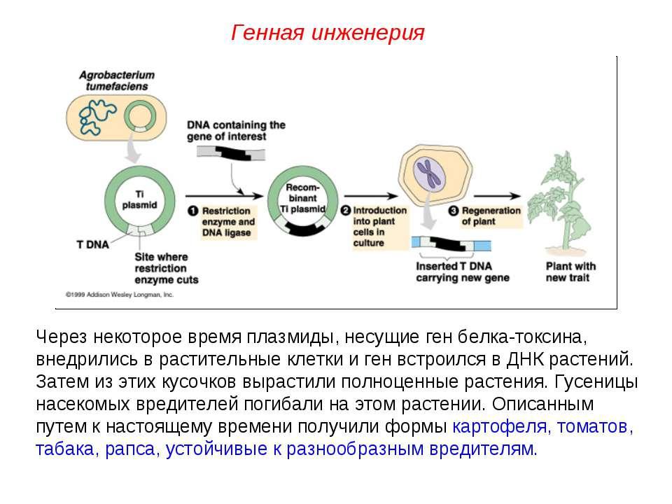 Через некоторое время плазмиды, несущие ген белка-токсина, внедрились в расти...
