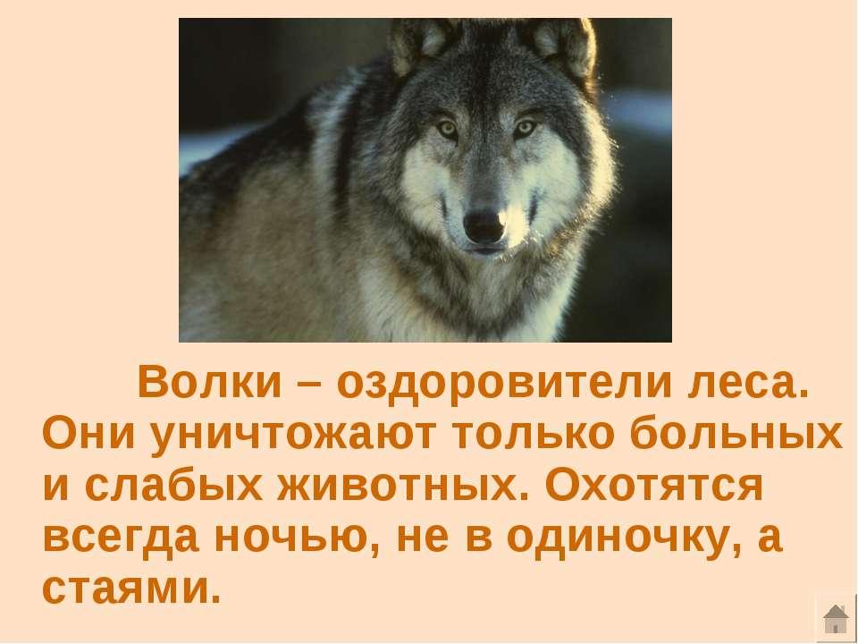 Волки – оздоровители леса. Они уничтожают только больных и слабых животных. О...