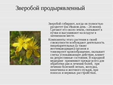 Зверобой продырявленный Зверобой собирают, когда он полностью расцветет (на И...