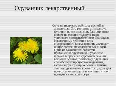 Одуванчик лекарственный Одуванчик нужно собирать весной, в апреле-мае. Это ра...