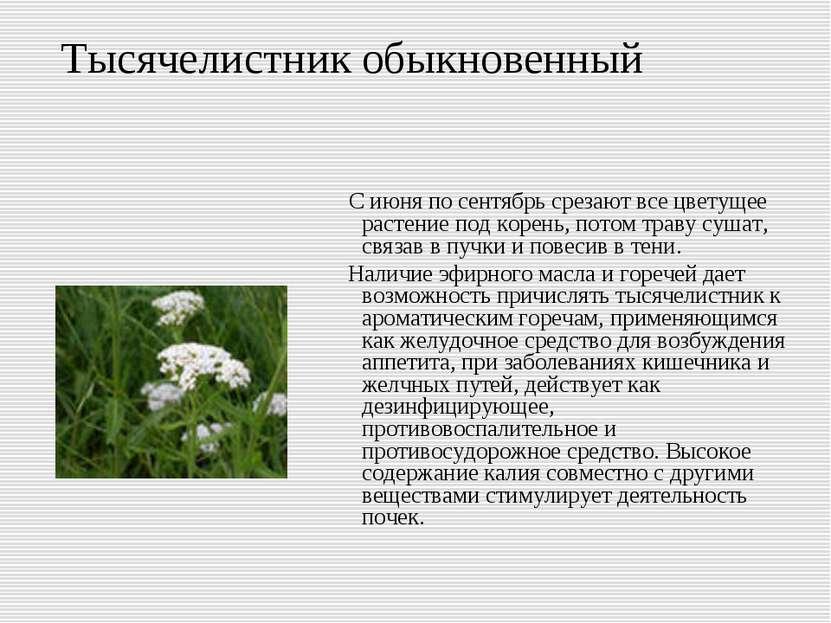 Тысячелистник обыкновенный С июня по сентябрь срезают все цветущее растение п...