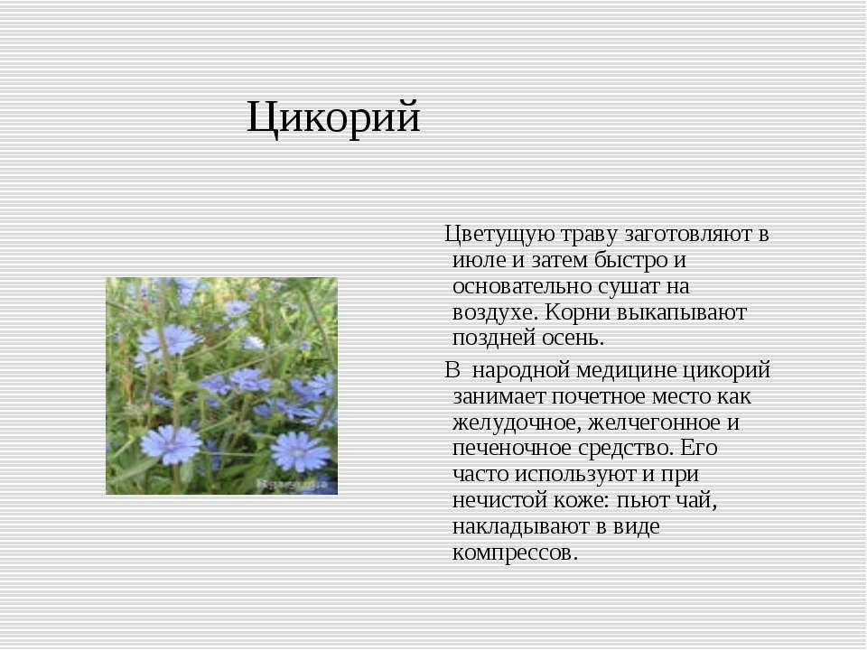 Цикорий Цветущую траву заготовляют в июле и затем быстро и основательно сушат...