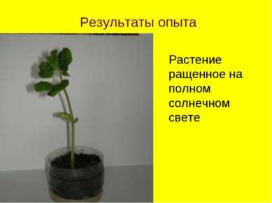 Растение ращенное на полном солнечном свете Результаты опыта