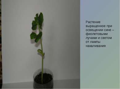 Растение выращенное при освещении сине – фиолетовыми лучами и светом от лампы...
