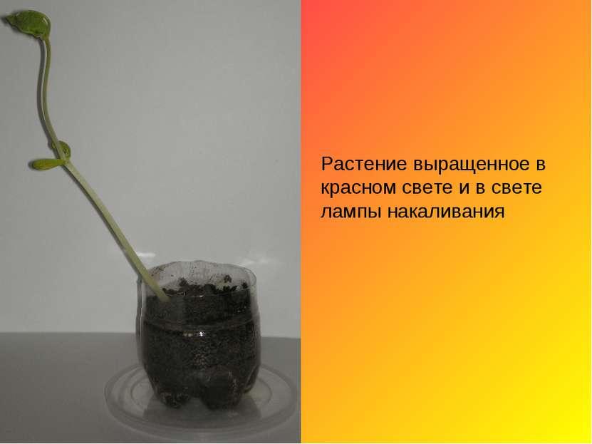 Растение выращенное в красном свете и в свете лампы накаливания