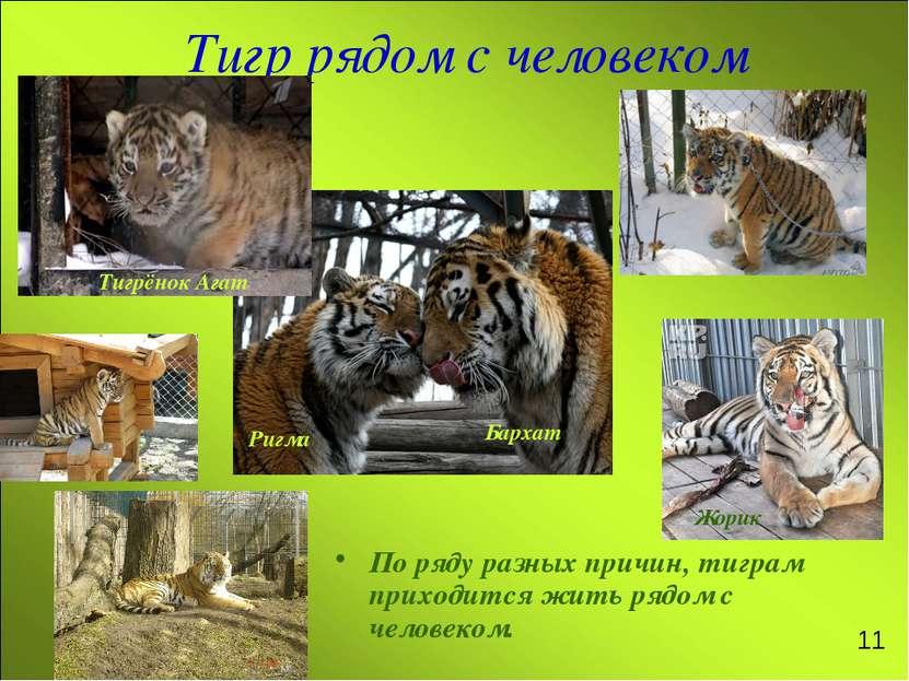 Тигр рядом с человеком По ряду разных причин, тиграм приходится жить рядом с ...