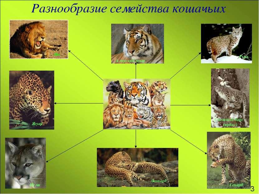 Разнообразие семейства кошачьих Амурский тигр Рысь Лев Ягуар Пума Снежный бар...