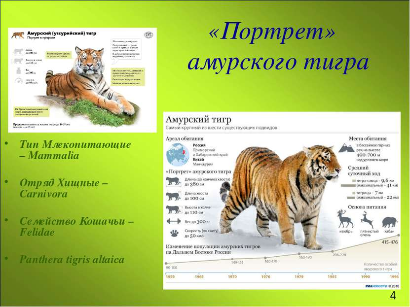 «Портрет» амурского тигра Тип Млекопитающие – Mammalia Отряд Хищные – Carnivo...