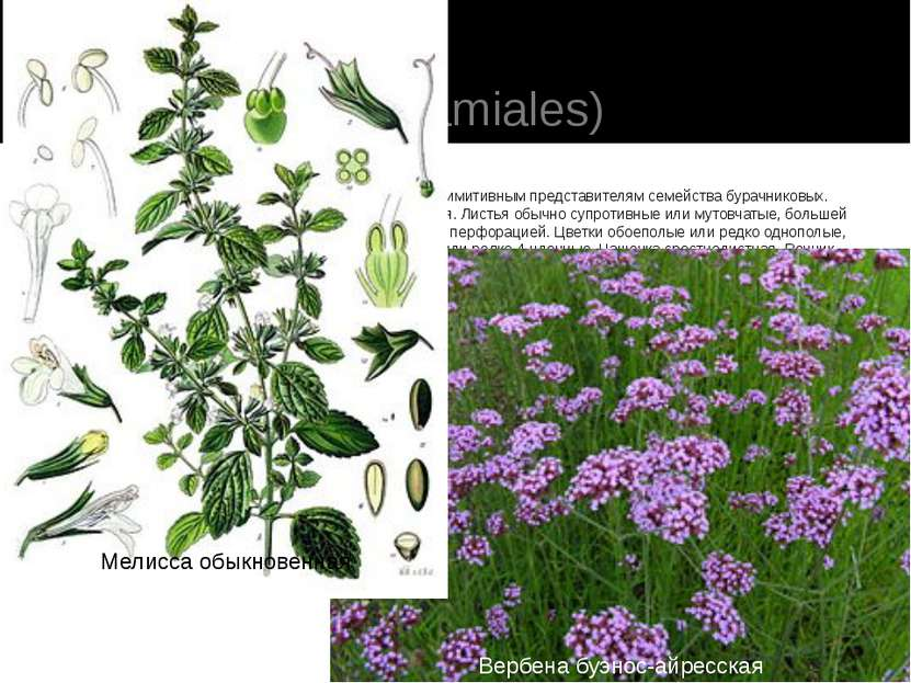 Порядок 6. Губоцветные(Lamiales) Близок к порядку синюховых, особенно к наиб...