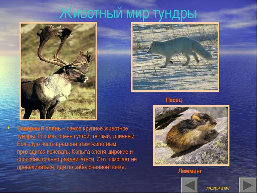 Животный мир тундры Северный олень – самое крупное животное тундры. Его мех о...