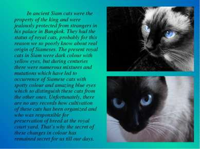 In ancient Siam cats were the property of the king and were jealously protect...
