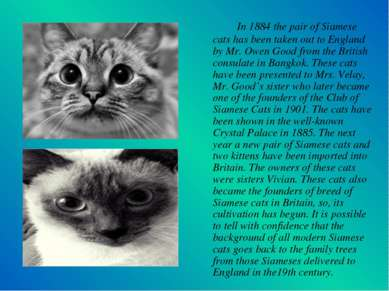 In 1884 the pair of Siamese cats has been taken out to England by Mr. Owen Go...